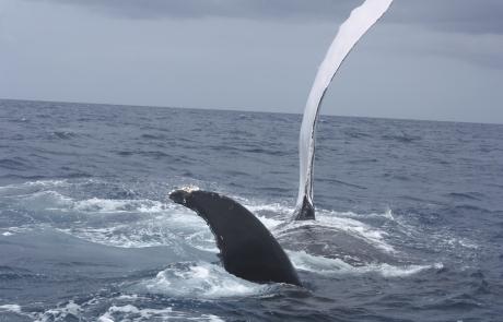 baleine qui plonge - dauphins et son bébé - consciences dauphins - nager avec les dauphins - nage avec les dauphins sauvages
