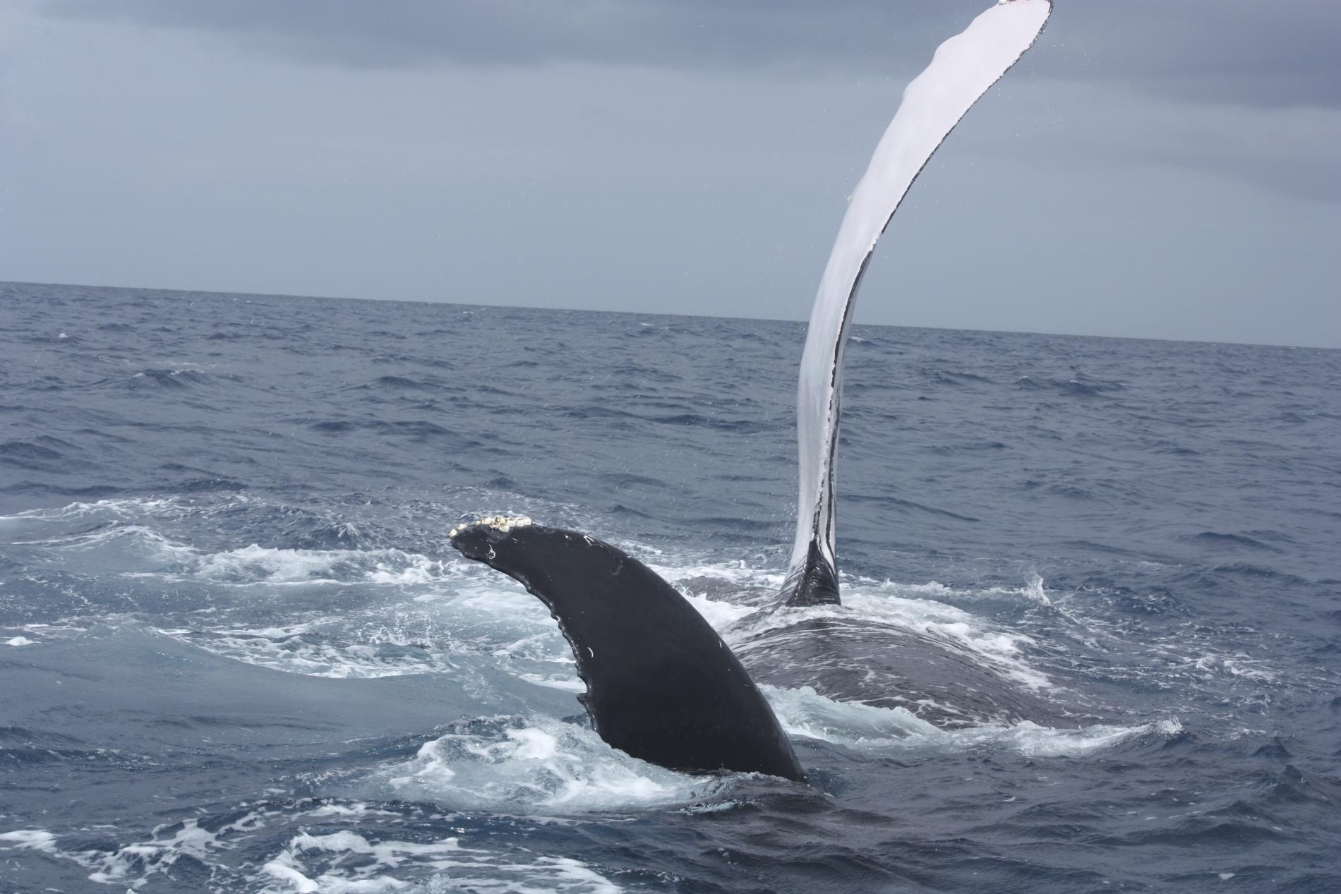 Baleine qui plonge