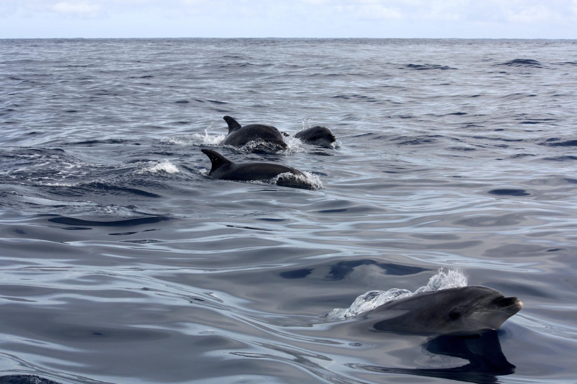 banc de dauphins qui sautent