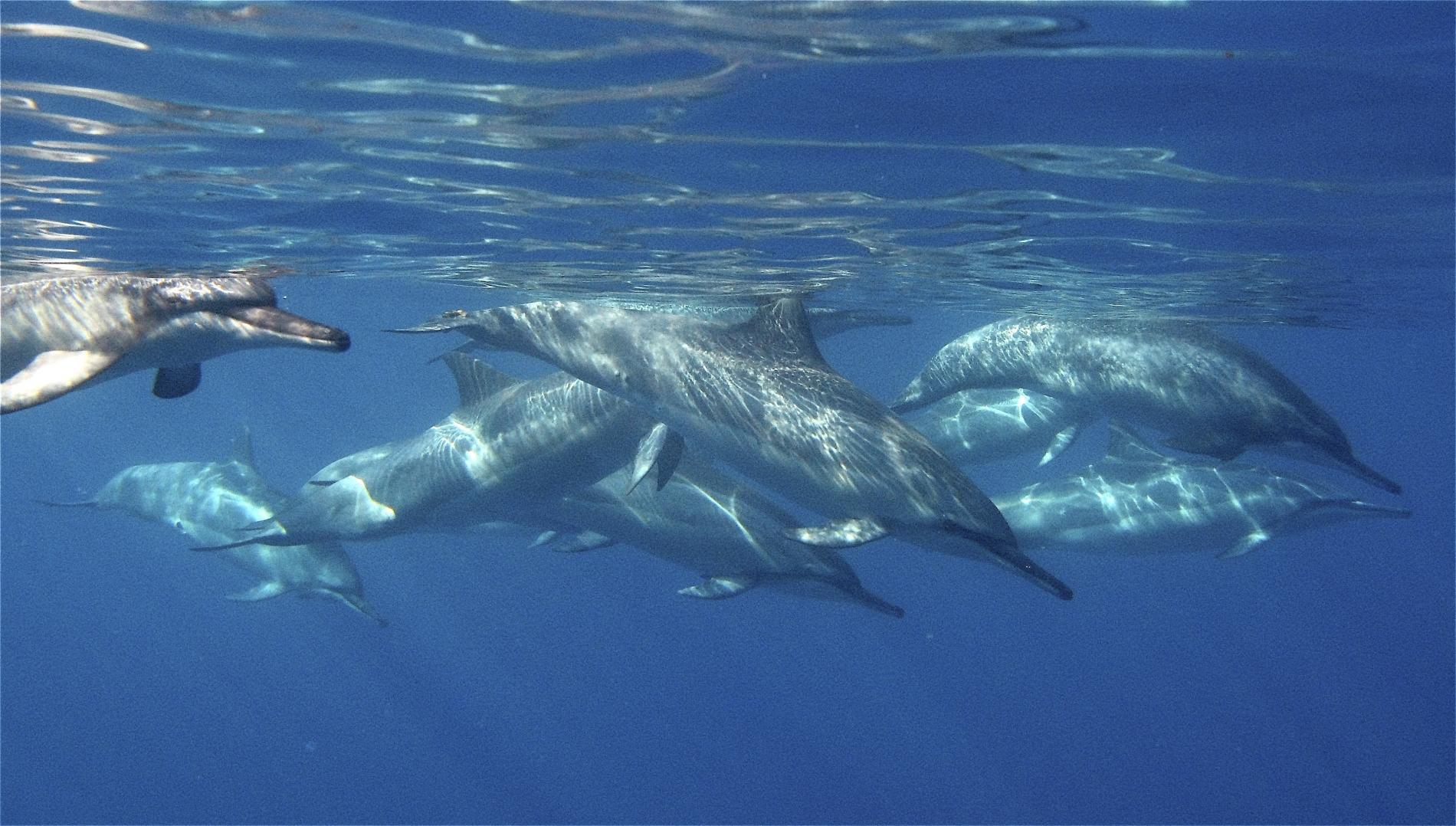 banc de dauphins sous l'eau
