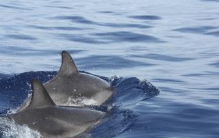 couple dauphins - dauphins et son bébé - consciences dauphins - nager avec les dauphins - nage avec les dauphins sauvages