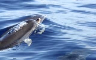 dauphin bulles - dauphins et son bébé - consciences dauphins - nager avec les dauphins - nage avec les dauphins sauvages