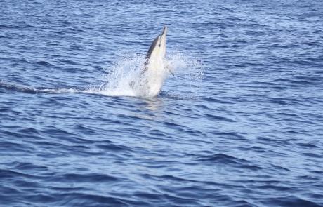 saut de dauphin commun - dauphins et son bébé - consciences dauphins - nager avec les dauphins - nage avec les dauphins sauvages