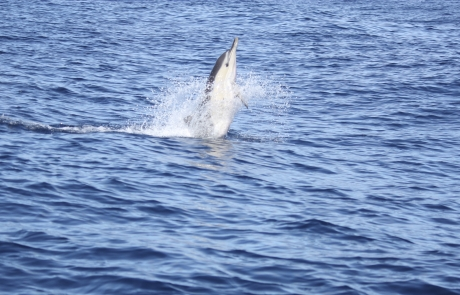 saut de dauphin commun