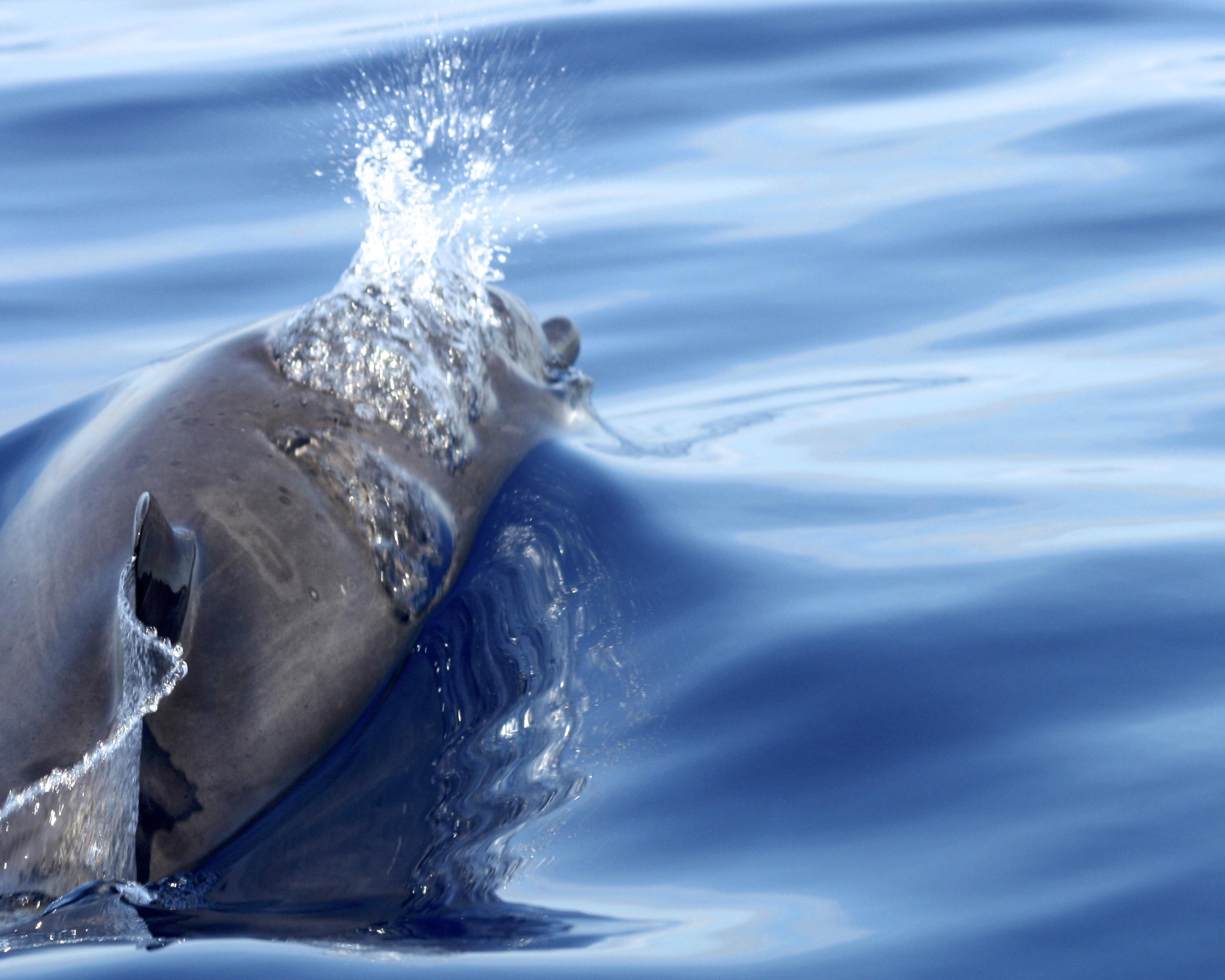 dauphin plongeant