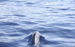 dos de dauphin - dauphins et son bébé - consciences dauphins - nager avec les dauphins - nage avec les dauphins sauvages