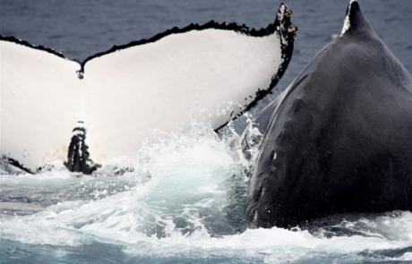 baleines - dauphins et son bébé - consciences dauphins - nager avec les dauphins - nage avec les dauphins sauvages