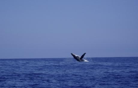 saut de Baleine - dauphins et son bébé - consciences dauphins - nager avec les dauphins - nage avec les dauphins sauvages
