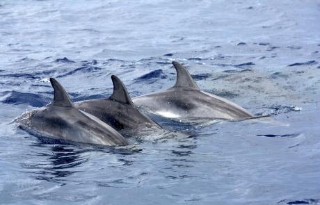 trois dauphins - dauphins et son bébé - consciences dauphins - nager avec les dauphins - nage avec les dauphins sauvages